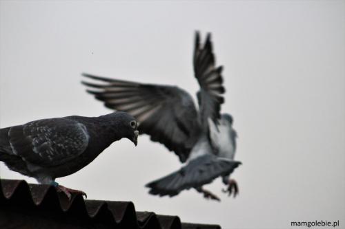 Gołąb na dachu