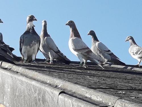 Gołebie na dachu - Przemek Komór