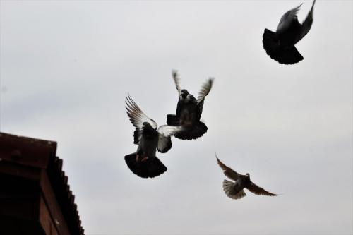 Cztery Gołębie Pocztowe