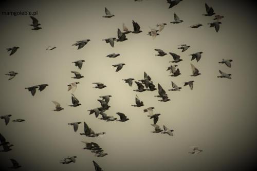 Lot Gołębi