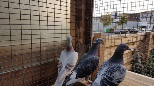 Trzy golebie Alicja Ciegowska